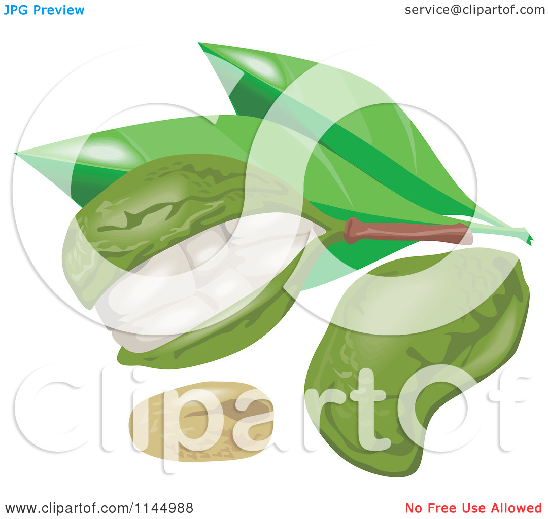 Clipart of Kola Nut Fruits and Leaves.
