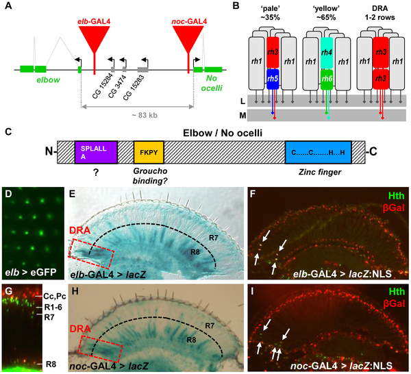Genetic Dissection of Photoreceptor Subtype Specification by the.