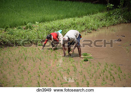 Stock Photograph of Male and female farmer replanting rice in.