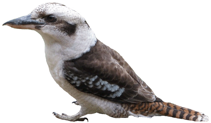 Kookaburra clipart 2, 10cm.