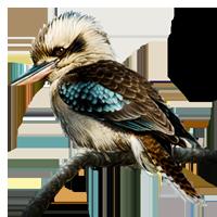 Clipart kookaburra.