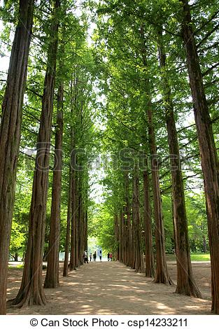 Stock Photography of Two rows of trees at nami island , korea.