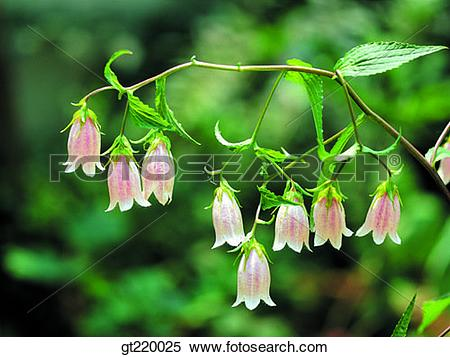 Stock Image of Korea, island, bellflower, blossom, branch, Ulleung.