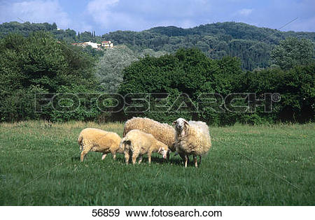 Stock Photograph of Four sheep in field, Agios Georgios, Korfu.