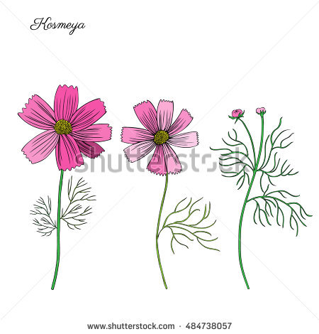 Cosmea Stock Photos, Royalty.
