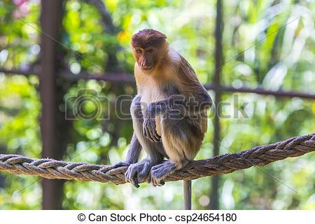 Pictures of Proboscis monkey in the zoo of Kota Kinabalu, Malaysia.