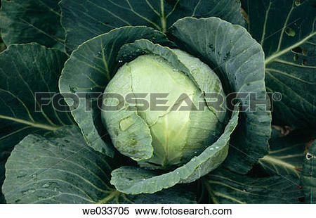 Stock Image of Vegetable. Cabbage. Koti. Himachal Pradesh. India.
