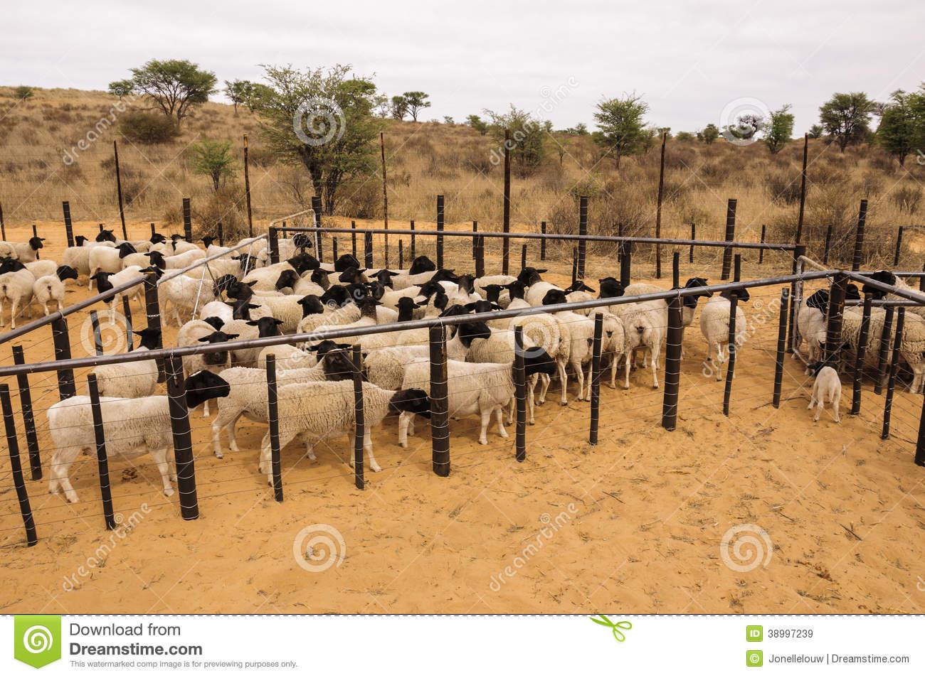 Dorper Sheep In A Kraal Stock Photo.