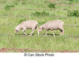 Stock Photography of Dorper sheep in a kraal on a farm between.
