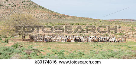 Stock Images of Dorper sheep in a kraal k30174816.