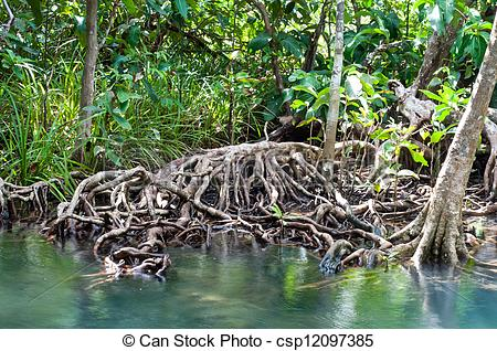 Pictures of tree roots at Tapom two water canal in krabi, thailand.