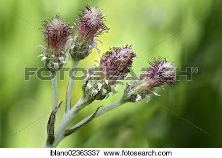 "Picture of ""Catsfoot, Cudweed or Stoloniferous Pussytoes."