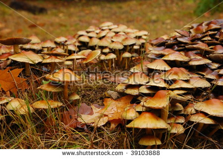 Kuehneromyces Stock Photos, Images, & Pictures.
