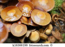Kuehneromyces Stock Photo Images. 78 kuehneromyces royalty free.