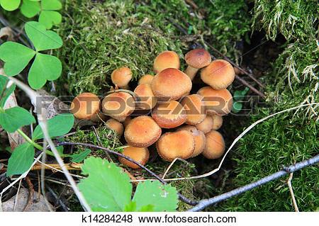 Pictures of Kuehneromyces mutabilis, mushroom k14284248.