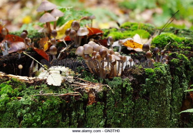 Psychedelic Mushrooms Stock Photos & Psychedelic Mushrooms Stock.