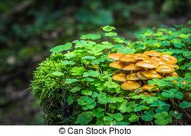 Stock Photography of Kuehneromyces mutabilis.