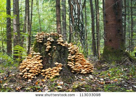 Sheathed Woodtuft (Kuehneromyces Mutabilis) Stock Photo 113033098.