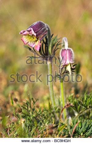 Kuhschelle Stock Photos & Kuhschelle Stock Images.