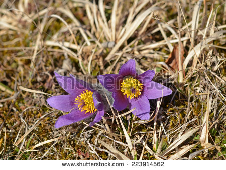 Pulsatilla Vernalis Stock Photos, Royalty.