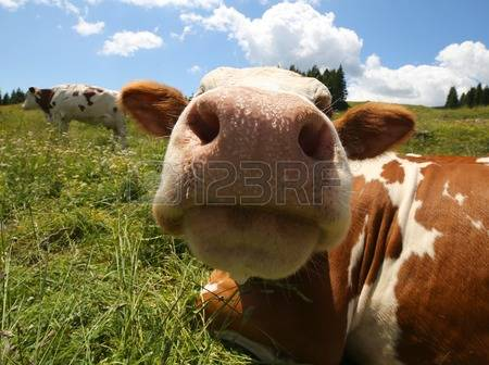 Snout Cow Images & Stock Pictures. 0 Royalty Free Snout Cow Photos.