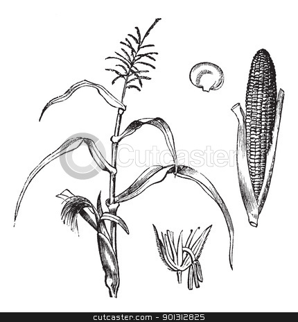 Corn, Maize or Zea mays, vintage engraving. stock vector.
