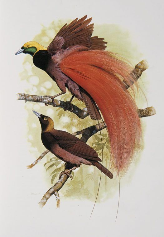 Raggiana Bird of Paradise from the \'Rituals of Seduction.