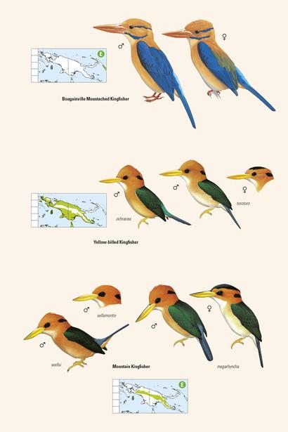 New Guinea\'s Birds.