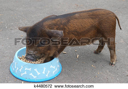 Stock Photo of A New Zealand Kune Kune Piiglet k4480572.