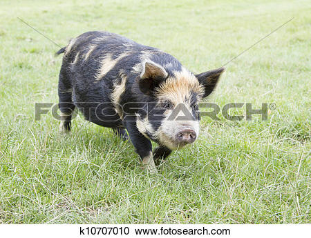 Stock Photography of Rare breed Kunekune piglet in field. 'Sus.