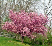 Kwanzan Cherry Tree.