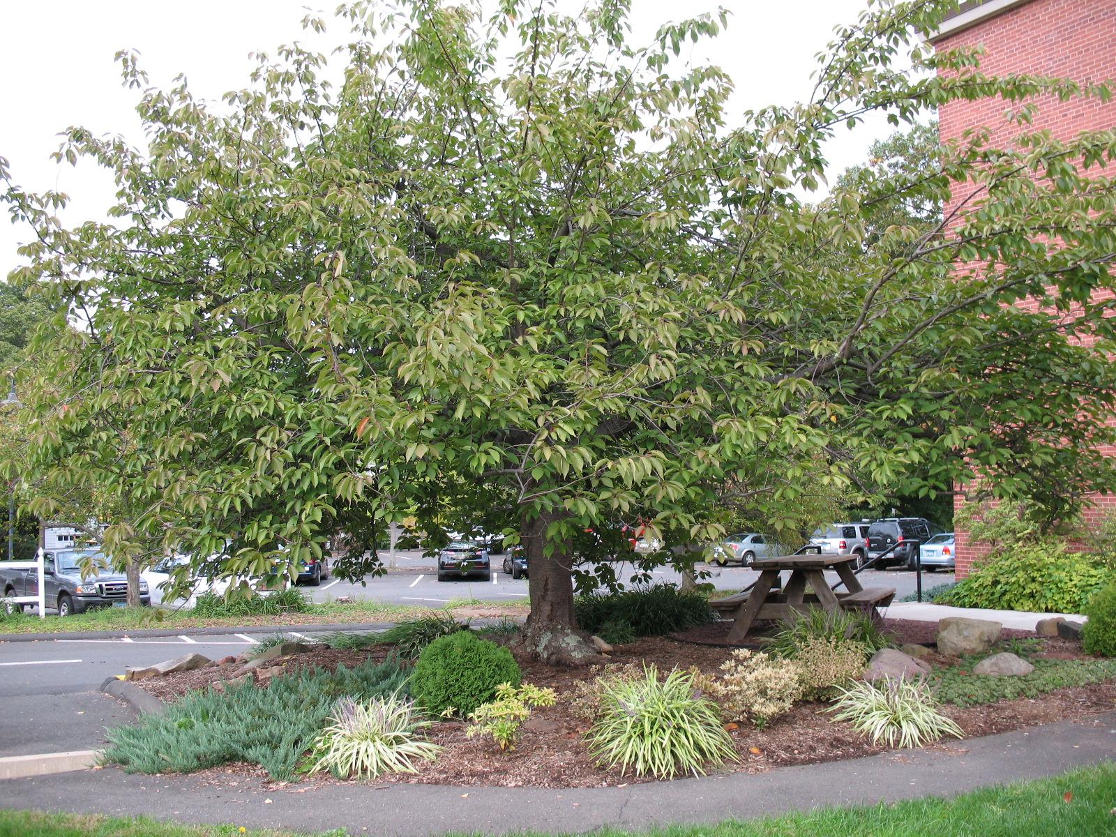 Quanson cherry tree clipart.