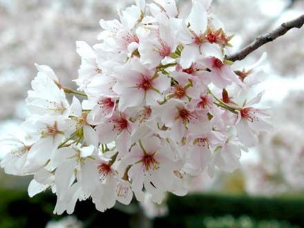 1000+ images about Cherry Blossoms on Pinterest.