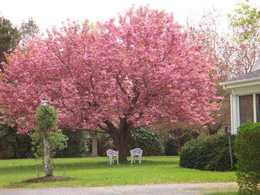 1000+ ideas about Japanese Cherry Tree on Pinterest.