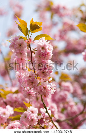 Kanzan Cherry Blossom Stock Images, Royalty.