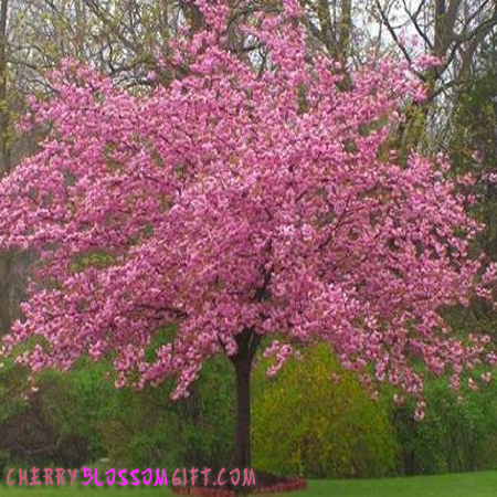 Live Kwanzan Cherry Tree.