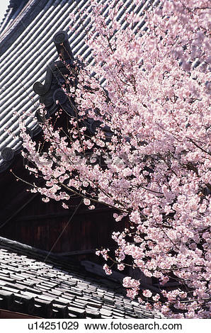 Stock Photograph of Cherry blossoms, Chion.