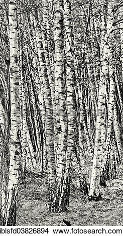 "Stock Photo of ""Birch copse, black and white, Lubbenau."