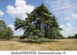 Scots pine Stock Photos and Images. 440 scots pine pictures and.