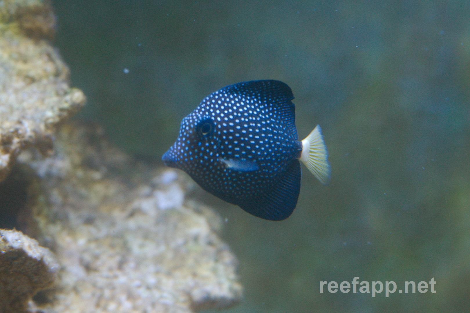 Spotted tang (Zebrasoma gemmatum) in aquarium.