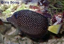 Zebrasoma gemmatum, Spotted tang : aquarium.