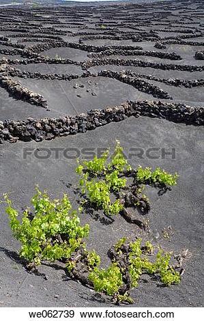 Stock Photograph of Vineyards growing on volcanic ground, La Geria.