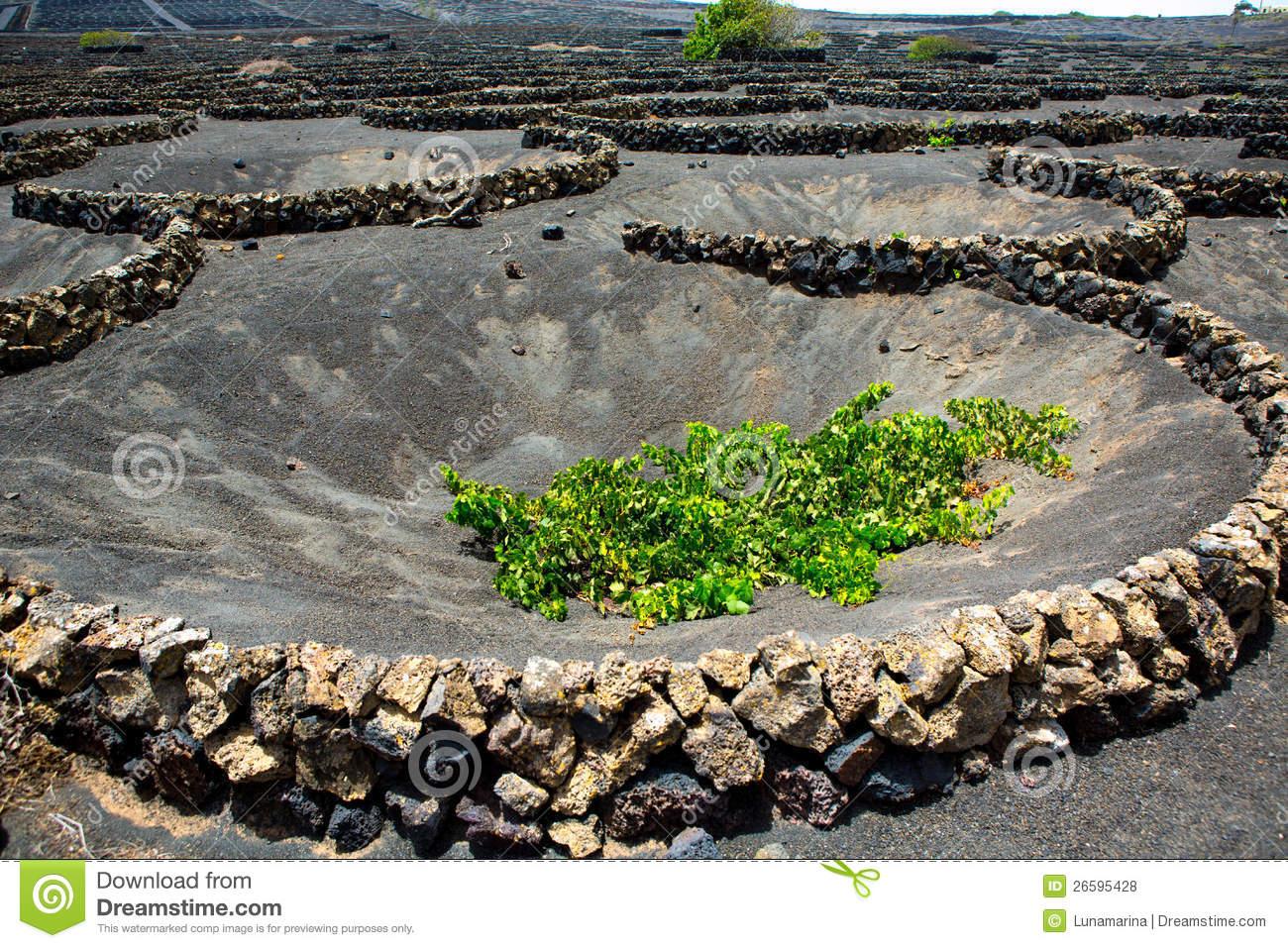 Lanzarote La Geria Vineyard On Black Volcanic Soil Royalty Free.