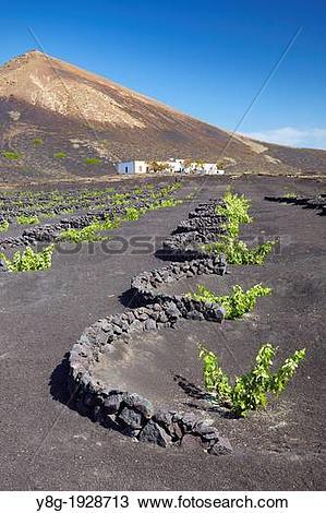 Stock Photo of Plantation of vines in volcanic ground in La Geria.