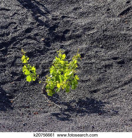 Stock Photography of beautiful grape plants grow on volcanic soil.