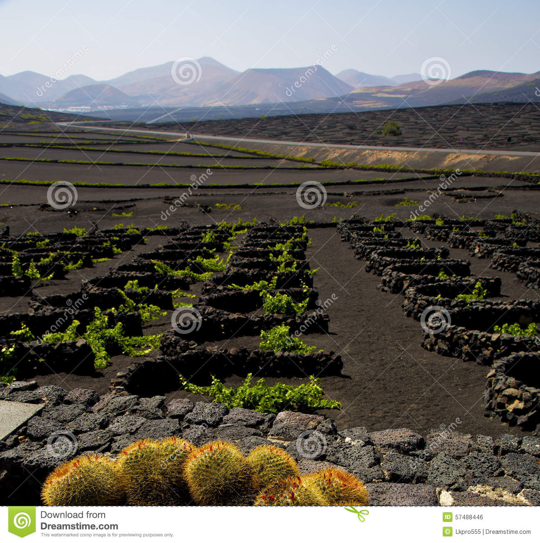Cactus Lanzarote Spain La Geria Vine Stock Photo.
