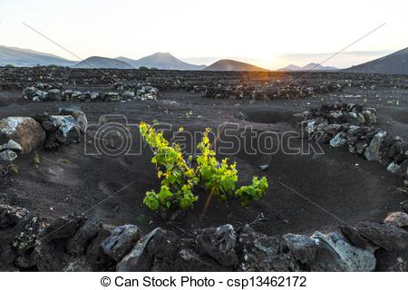 Picture of beautiful grape plants grow on volcanic soil in La.