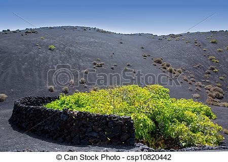 Stock Photo of Lanzarote La Geria vineyard on black volcanic soil.
