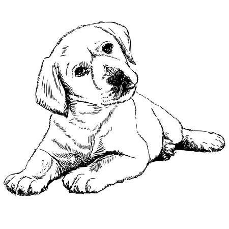 7,411 Labrador Retriever Cliparts, Stock Vector And Royalty Free.