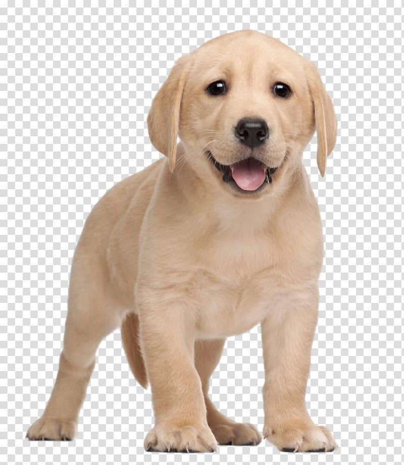Labrador Retriever Puppy Yorkshire Terrier , puppy transparent.
